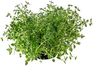 Saturejka zahradní: Pěstování, účinky, použití