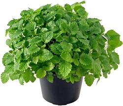 Bylinky od A do Z: 24 bylinek, které si vypěstujete snadno doma