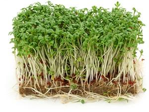 Řeřicha: Pěstování, účinky, použití